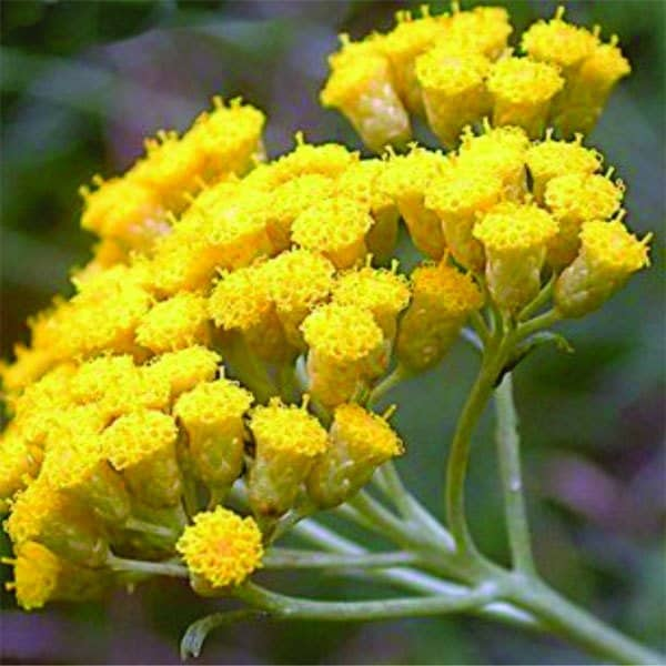 helichrysum essential oil plan